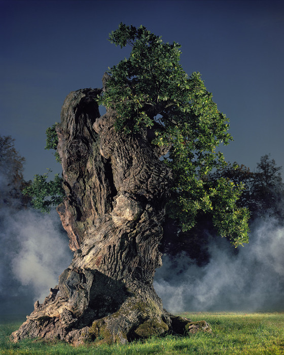The 'military' oaks of Blenheim Palace for the Historic Houses Association