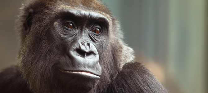 9/16/11 3:34:07 PM -- Lincoln Park Zoo Imagery. Western lowland gorilla. Chicago, IL, USA . © Todd Rosenberg Photography 2009
